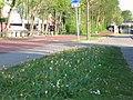 Tulipa clusiana, Utrecht 2019.jpg