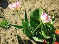 Tulipa florenskyi.jpg