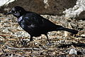 Tuolumne Meadows - Brewer's Blackbird - 2.JPG