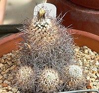 Turbinicarpus schmiedickeanus ssp dickisoniae 1.jpg