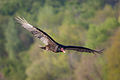 Turkey Vulture IMG 5426.jpg