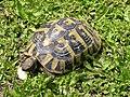 Turtle (Testudo hermanni), Corfu.jpg