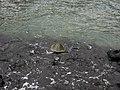Turtles, Pu'uhonua o Honaunau National Historical Park, Honaunau, Hawaii (15) (4529673080).jpg