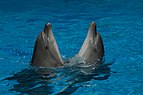 Two dancing dolphins in Anapa dolphinarium.jpg