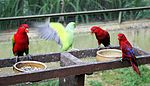 Two species of Lorikeets and a parakeet -Kuala Lumpa Bird Park.jpg
