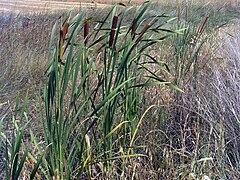 Typha domingensis Habitus CampodeCalatrava.jpg