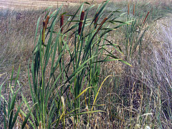 Typha domingensis.