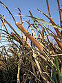 Typha domingensis Russia 1.jpg
