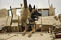 U.S. Air Force military working dog Jackson sits on a U.S. Army M2A3 Bradley Fighting Vehicle before heading out on a mission in Kahn Bani Sahd, Iraq, Feb. 13, 2007.jpg
