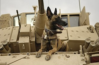 Dogs in warfare - A United States Air Force Belgian Malinois on a M2A3 Bradley Fighting Vehicle  before heading out on a mission in Kahn Bani Sahd, Iraq, Feb. 13, 2007.