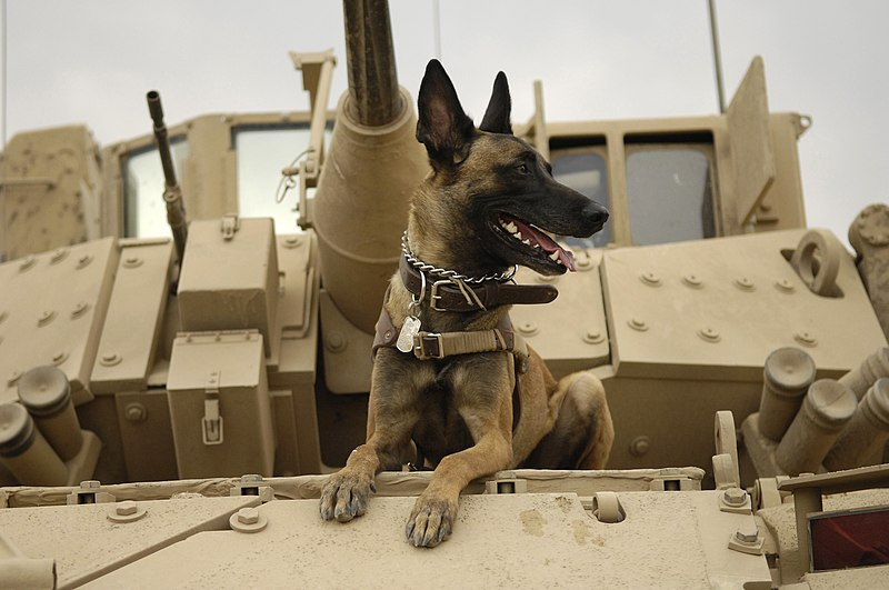 File:U.S. Air Force military working dog Jackson sits on a U.S. Army M2A3 Bradley Fighting Vehicle before heading out on a mission in Kahn Bani Sahd, Iraq, Feb. 13, 2007.jpg