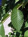U. pumila-leave-4.jpg