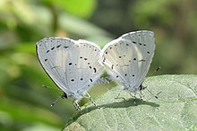 Udara akasa Horsfield, 1828 – White Hedge Blue at Mannavan Shola, Anamudi Shola National Park, Kerala (11).jpg