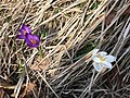 Unidentified flowers on Sasso Gordona, Italy.jpg