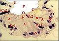 Uroctée pharyngien 1.jpg