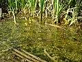 Utricularia vulgaris 2.jpg