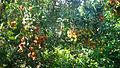 Vườn chôm chôm.JPG