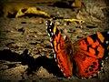 Vanessa butterfly Macro.jpg