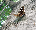 Vanessa cardui in Texas 7-10.JPG