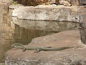 Mertens' water monitor - Mertens' water monitor at the Grotto waterhole near Wyndham, Western Australia
