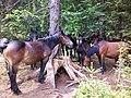 Velebitski konji.jpg