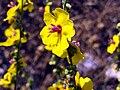 Verbascum virgatum Closeup3 Miguelturra CampodeCalatrava.jpg