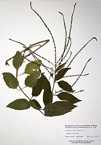 Verbena urticifolia BW-1979-0723-0736.jpg