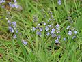 Veronica serpyllifolia (Thyme-leaved speedwell) - Flickr - S. Rae.jpg