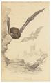 Vespertilio pipistrellus - 1700-1880 - Print - Iconographia Zoologica - Special Collections University of Amsterdam - UBA01 IZ20800115.tif