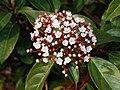 Viburnum February 2008-1.jpg