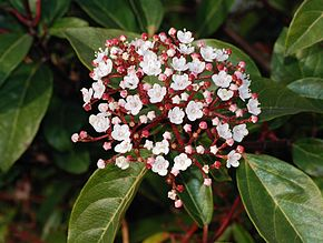 Description de l'image Viburnum February 2008-1.jpg.