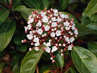 Viburnum tinus - Flower and leaves