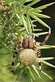 Vierfleckkreuzspinne Araneus quadratus 1.jpg