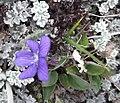 Viola adunca - Flickr - brewbooks.jpg