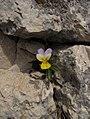 Viola sp unknown.jpg