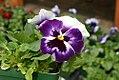 Viola tricolor Delta Beaconsfield 1zz.jpg