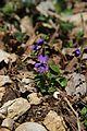 Violet - panoramio (1).jpg