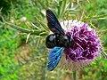 Violet Carpenter Bee (Xylocopa violacea) (8336057441).jpg