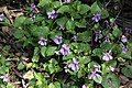 Violets next to the weir - geograph.org.uk - 1239174.jpg