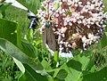 Virginia Ctenucha Moth (Ctenucha virginica) - Flickr - Jay Sturner.jpg