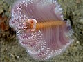 Virgularia sea pen with Porcellanella picta porcelain crab filter feeding on top.jpg