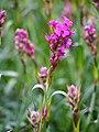 Viscaria vulgaris Smółka pospolita 2015-05-17 04.jpg