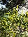 Viscum laxum subsp. laxum sl2.jpg
