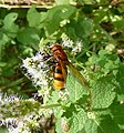 Volucella zonaria - Flickr - gailhampshire (2).jpg