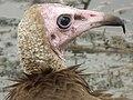 Vulture in Tanzania 3090 cropped Nevit.jpg