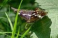 Wüstenrot - Apatura iris - Kopf.jpg