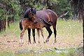 WILD HORSE MOTHER NURSING YEARLING LOOKOUT MOUNTAIN HERD-OCHOCO (25188855480).jpg