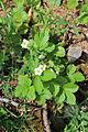 Wald-Erdbeere Blüte - Fragaria vesca.JPG