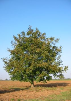 Walnut-tree 20041012 2599.JPG