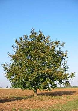 Walnut-tree 20041012 2599